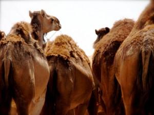 marrocos dromedarios